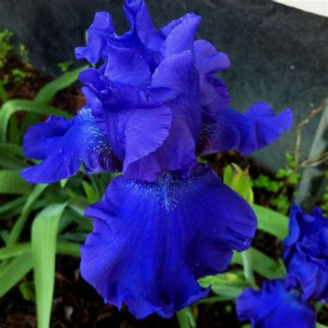 de tuinen barb beautiful blue iris flower garden ideas pinterest