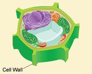 Pictures Of A Cell Wall