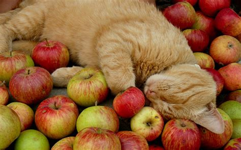 is it ok for dogs to eat apples are apples safe for cats to eat catlovehub