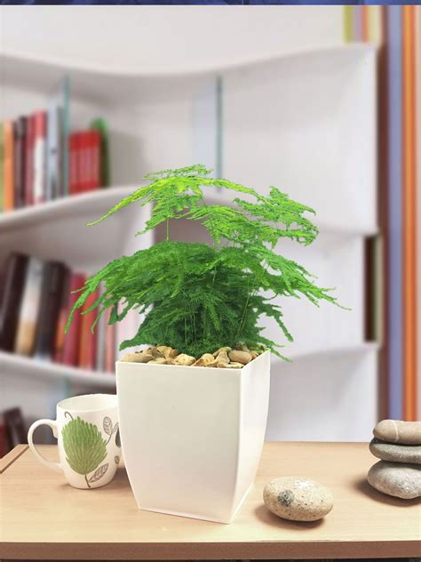 1 x asparagus fern evergreen indoor office house plant