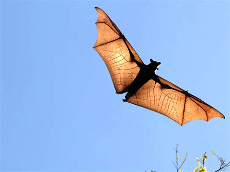 bat pictures bat scary animal photo gallery flying bats