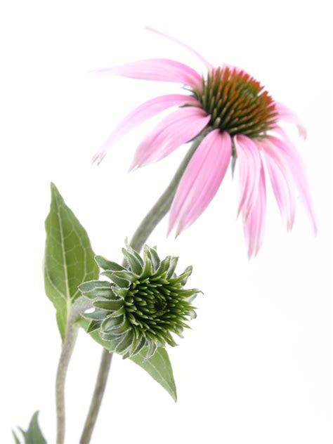 forever echinacea supreme forever echinacea supreme maintains immune system strong