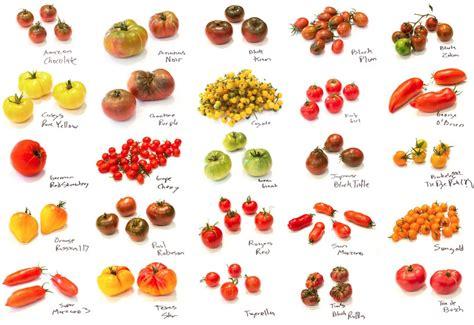 growing tomatoes joe hewitt
