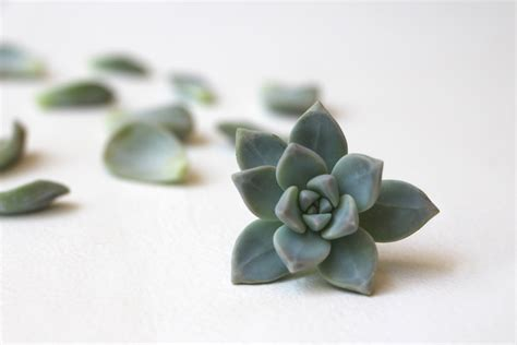 How To Propagate Succulents From Leaves And Cuttings - propagating succulents needles leaves