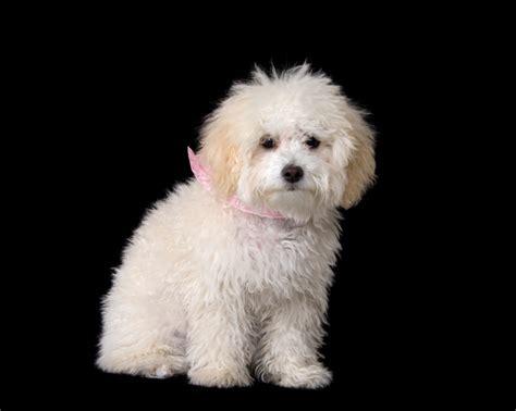 mini poodle information miniature poodle information miniature poodle question and