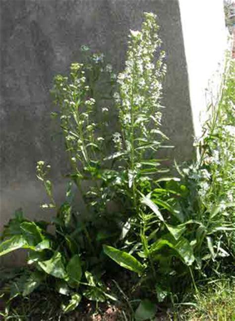 rafano in cucina erbe aromatiche il rafano pollicegreen