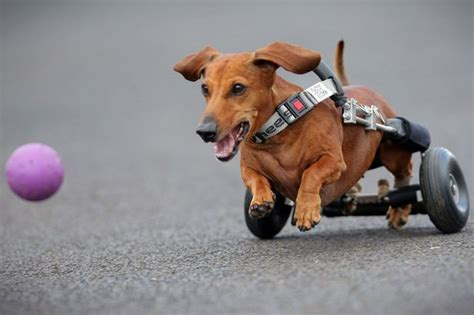 dogs back legs not working sausage whose hind legs don t work has a wheely great way of getting around