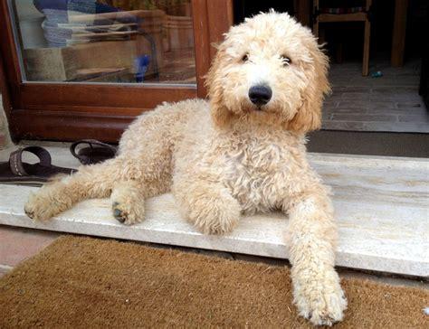 golden retriever or goldendoodle goldendoodle a golden retriever poodle mix spockthedog