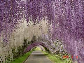 wisteria in japan japanese wisteria tunnel planet photography fotorimo