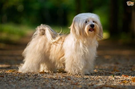 havanese size havanese breed information buying advice photos and facts pets4homes