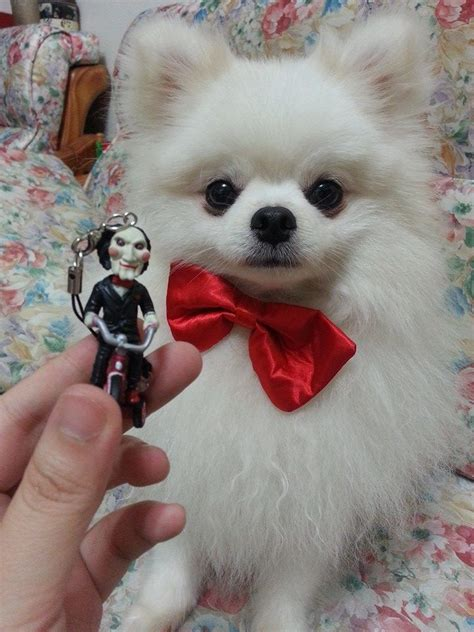 pomeranian with bow pomeranian bow pomeranian puppy
