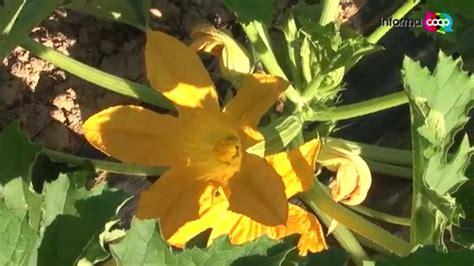 zucchine fiori di zucca zucchine e fiori di zucca dell orto toscano