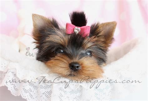 teacup yorkie adoption atlanta de 25 bedste id 233 er inden for yorkie puppies for adoption p 229 teacup