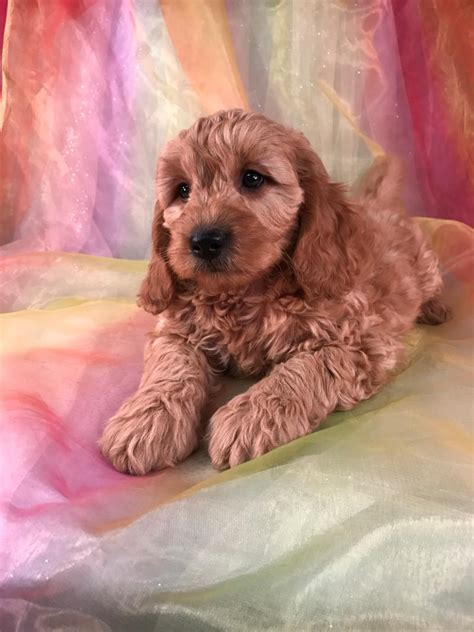 mini goldendoodles mn iowa and minnesota breeders with mini goldendoodles