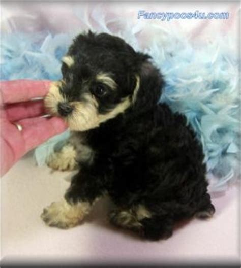 schnauzer doodle puppies for sale 17 best images about schnoodle doodles on
