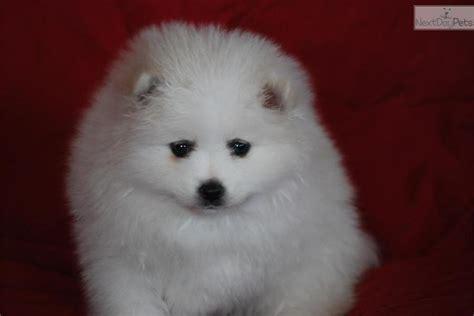 american eskimo puppy price american eskimo puppy for sale near provo orem utah 4cf8dff1 74b1