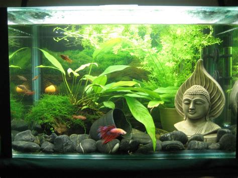 bamboo aquascape betta aquascaping betta and other tropical fish
