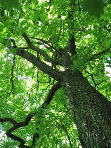 Tree Canopy File Sorbus Torminalis Trunk And Canopy Jpg Wikimedia