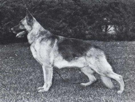 german shepherd puppies reno cobert s reno of lakeside