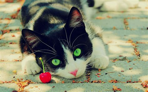 awesome wallpaper of cat wallpaper depot 10 amazing cat wallpapers