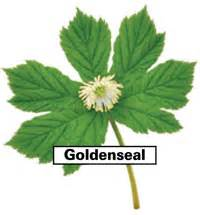 Goldenseal Root For Detox by Colon Ultra Cleanse