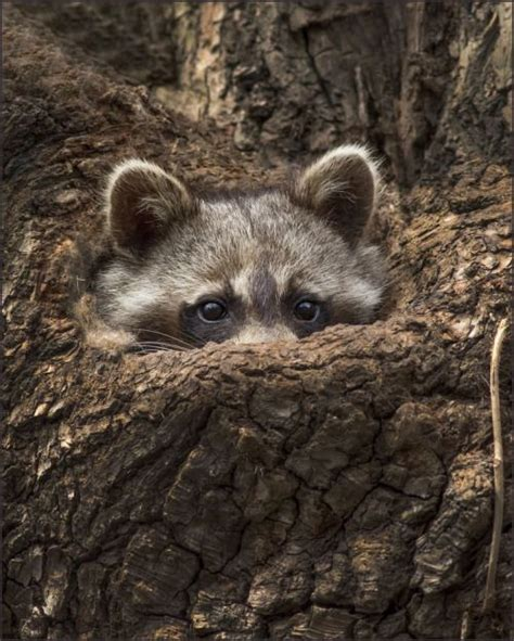 Ready Senin Animal 1000 images about racoons on pictures of