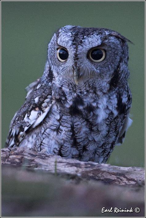eastern screech owl birds of prey pinterest so cute