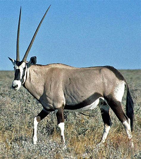 oryx powerful desert antelope animal pictures  facts factzoocom