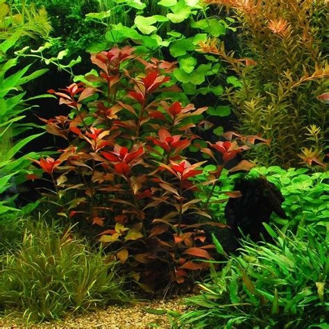ludwigia repens rubin  aquarium plants java moss