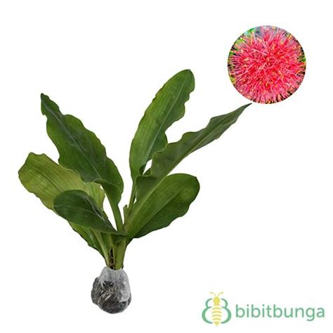 Tanaman Jadi Bunga Hujan tanaman bunga desember blood bibitbunga