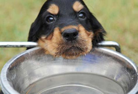 puppy a lot of water the importance of water for nutrition petmd