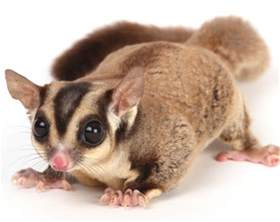 pet sugar glider care information facts pictures