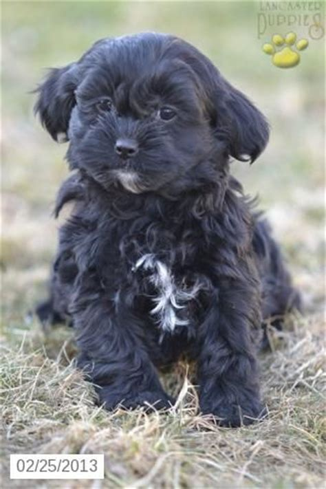 shapoo puppies wiki shih poo puppy for sale shih poo pinterest for sale