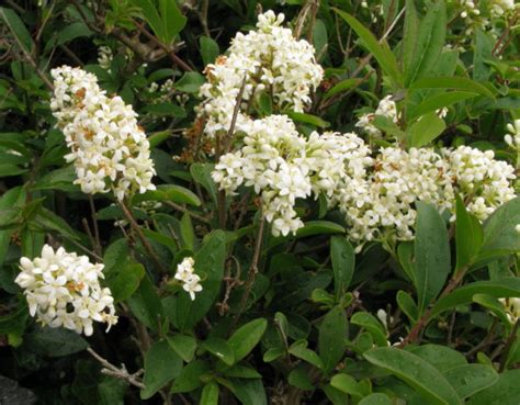 small shrubs with flowers privet