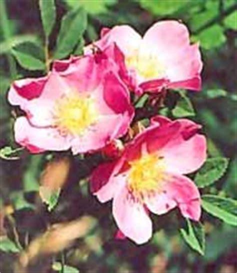 state flower of iowa iowa state flower facts about wild prairie rose