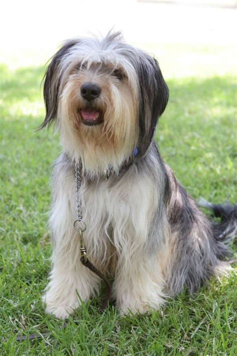 paul anka puppy breeds what breed was paul anka on gilmore dogs