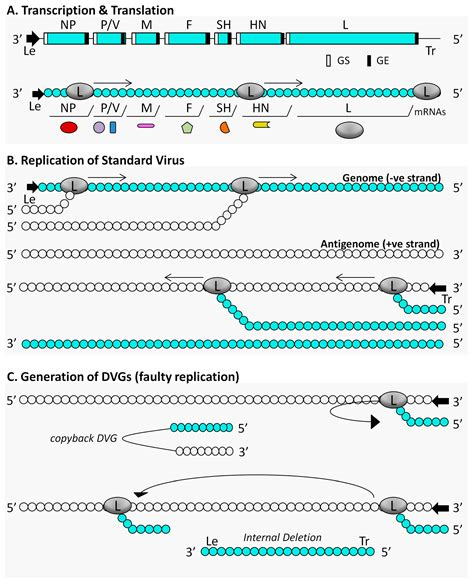 viral pattern recognition receptors viruses free full text targeting pattern recognition