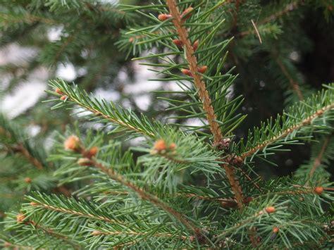 porque se pone el arbol de navidad creo que es el t 237 pico 225 rbol que se pone para navidad 191 pero cual es