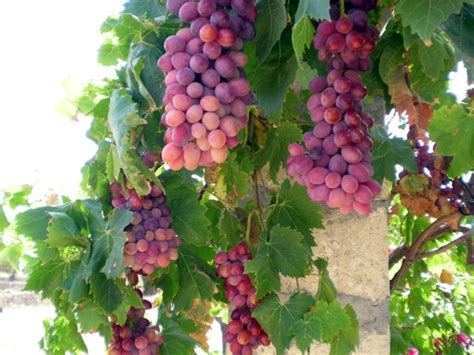 Anggur Hitam Autum grapes grape vine free stock photos in jpeg jpg