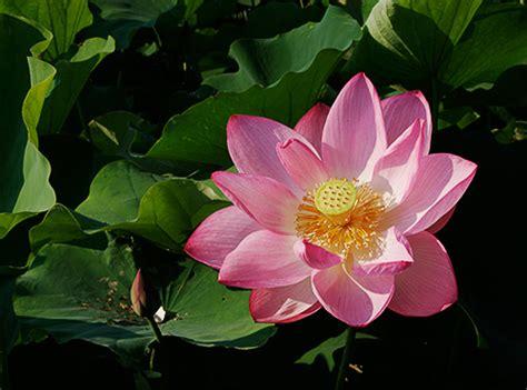 lotus blossoms at kenilworth aquatic gardens in washington