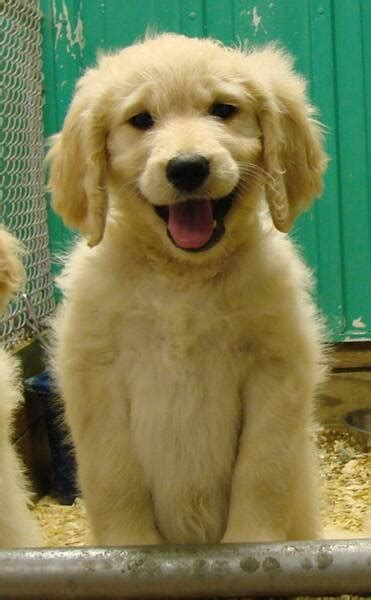 cheap goldendoodle puppies for sale pin goldendoodle dogs pictures on