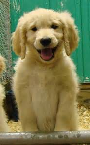 retriever doodle puppies for sale nz pin goldendoodle dogs pictures on