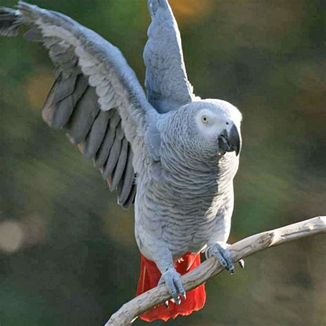 african grey parrot for sale in melbourne australia