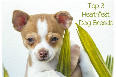 healthiest breeds what are the top 3 healthiest breeds dogvills