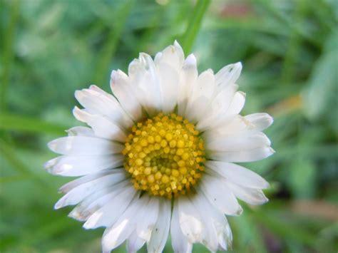 i fiori di napoli b b fiori da capodimonte bellis perennis o b sylvestris