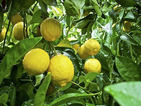 Pohon Jeruk Lemon By Alirashop tertarik menanam lemon di halaman rumah ini panduannya