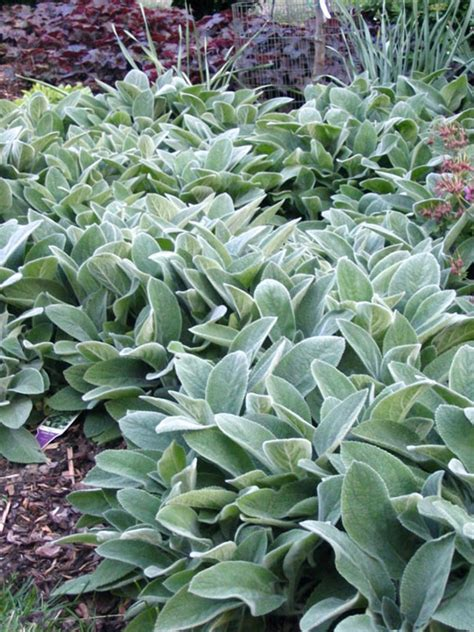 lamb s ear hgtv