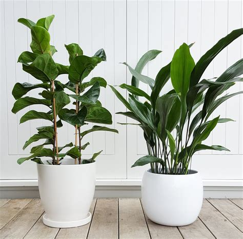 Plants And Planters by Cast Iron Plant In Marino Pot Amazing Indoor Plant