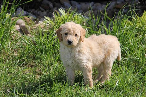 goldendoodle puppy prices goldendoodle puppy for sale near dallas fort worth
