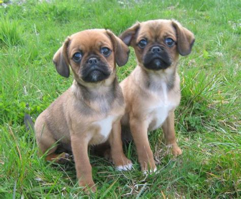 puppy dogs pugalier puppies carmarthen carmarthenshire pets4homes